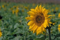 sunflower in the summer iii